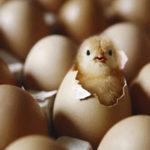Как правильно хранить яйца для инкубации