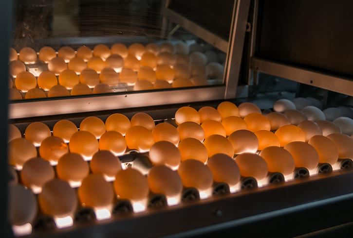 Использование современного инкубатора для яиц
