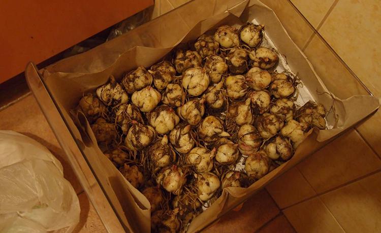 Луковицы лилий в коробке