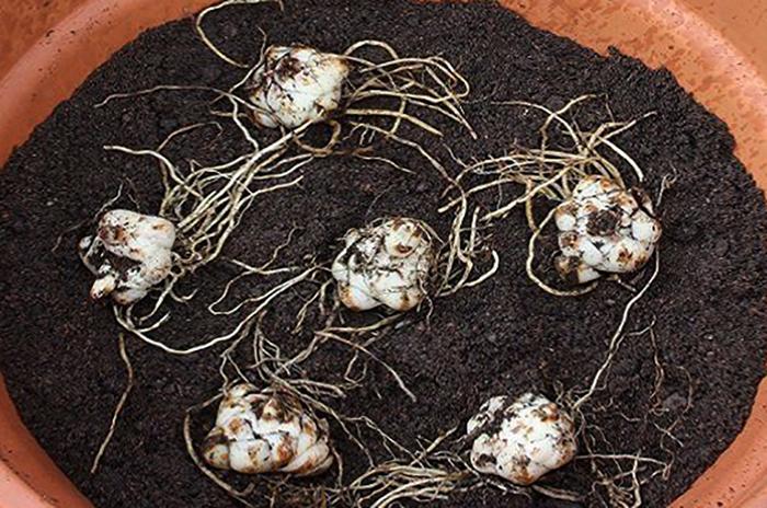 Луковицы лилий в вазоне