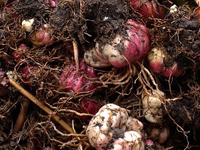 Выкопанные луковицы лилий