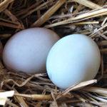 Как хранить яйца индоутки для высиживания