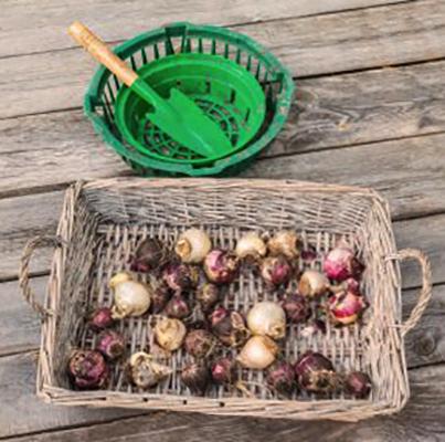 Собранные луковицы гиацинтов