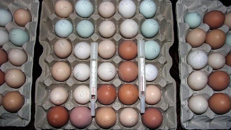 Яйца индоутки для высиживания