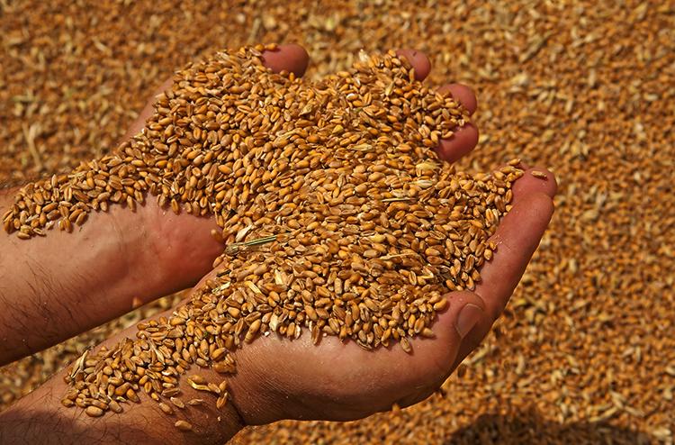 Зерно в руках
