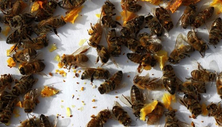 Сушка пчелиного подмора