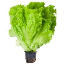 Сколько можно хранить листовой салат и как правильно?