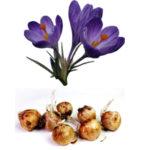 Как хранить крокусы и их луковицы