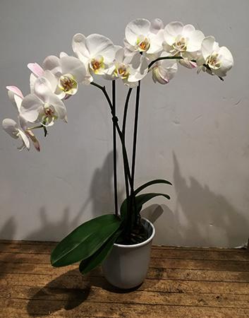 Орхидея в горшке в домашних условиях