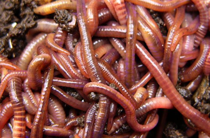 Земляные черви
