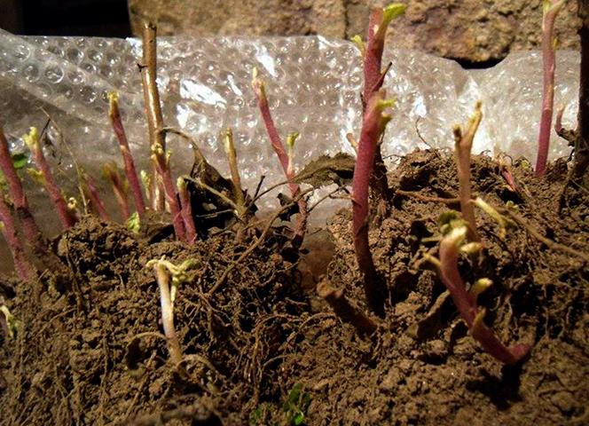 Хранение хризантем в подвале