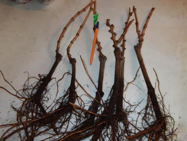 Саженцы винограда с корнями