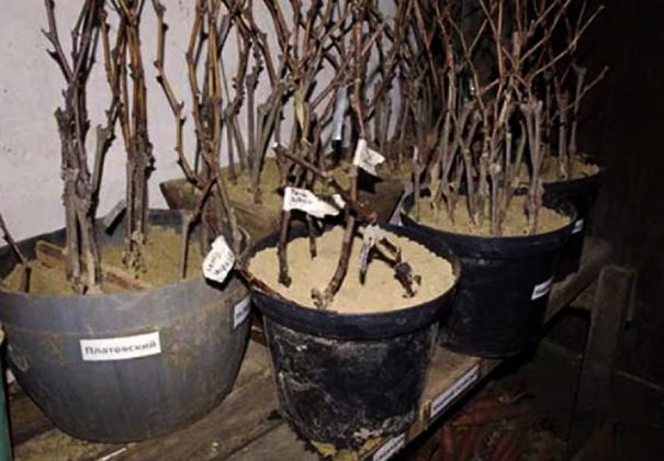Черенки винограда в горшках