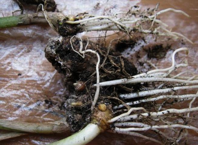 Каллы с корневищем